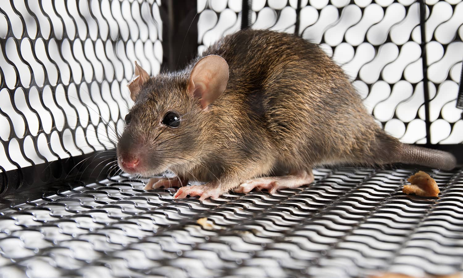rodent-control-los-angeles